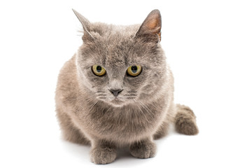 gray cat isolated