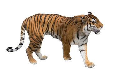 isolated on white large tiger