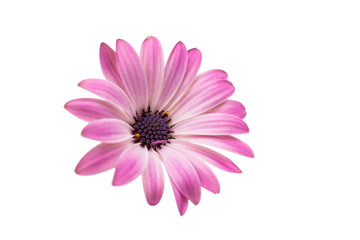 White and Pink Osteospermum Daisy or Cape Daisy Flower