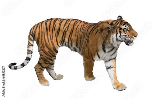 Foto op Canvas Tijger isolated on white large tiger