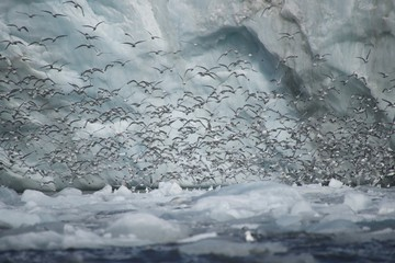 Hundreds of kittiwakes flying past ice cliff
