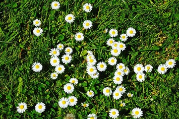 Daisies growing in the grass © Arena Photo UK