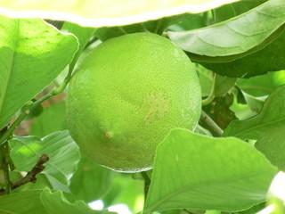 Reifende Zitronenfrucht