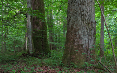 Monumental oak trees of Bialowieza Forest