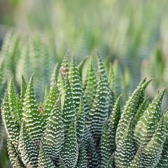 Aloe vera - curative plant