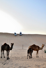 Camel on the background of the dune, Dubai, United Arab Emirates