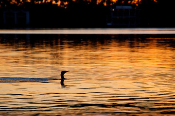 Black / Great Cormorant hunting for fish
