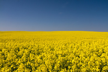 Endless yellow canola field under a blue sky