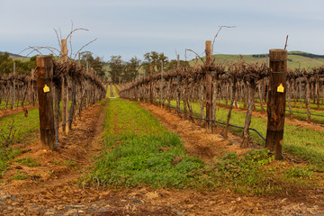 Vines in the Barossa Valley, South Australia.
