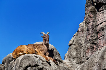 Himalayan Tahr sitting on a cliff