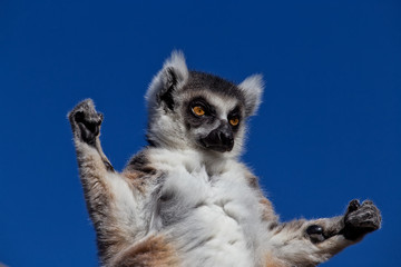 A Ring-tailed Lemur stares and holds his arms up