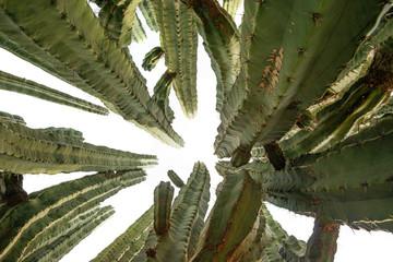 big cactus - pachycerus weberi