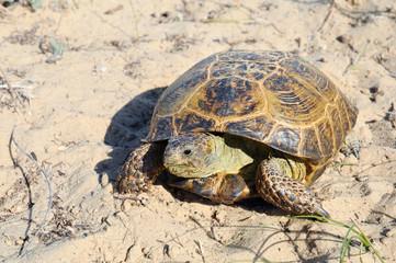 Central Asian tortoise