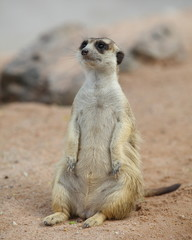 one cute meerket standing and looking out