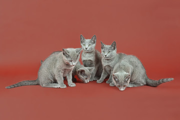 Katzen-Russisch-Blau-18204