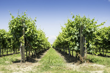 Green Vineyards