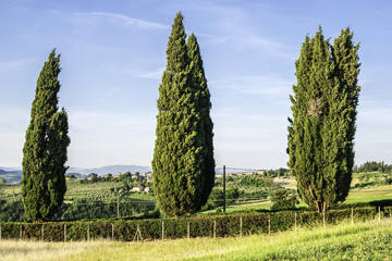 Tuscan cypress tree