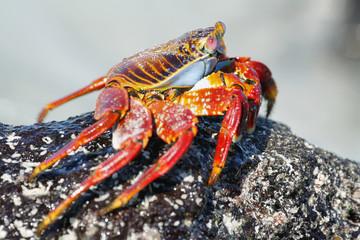 Galapagos red rock crabs