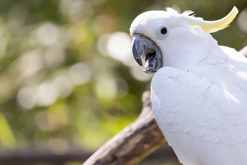 Close up of yellow crested cockatoo