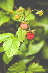 Fragaria vesca, commonly known as the Woodland Strawberry