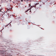 Apricot flowers in spring, floral background