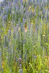 blaue wild feld pflanze, hintergrund
