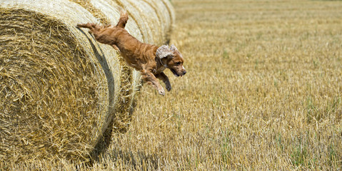 Dog puppy cocker spaniel jumping from wheat