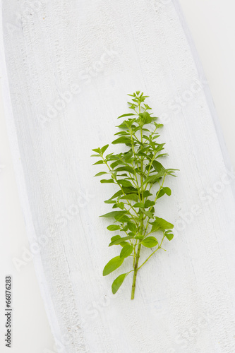 canvas print picture Oregano