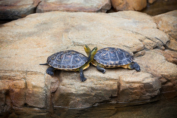 Turtles couple on a stone