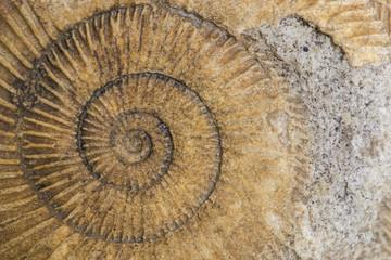 Dactylioceras, ammonite fossile, Schlaifhausen, Germania