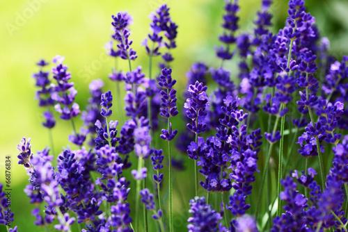 canvas print picture Lavendel