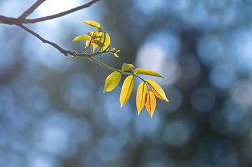 Nature backgrounds - back lit yellow leaves on blue background