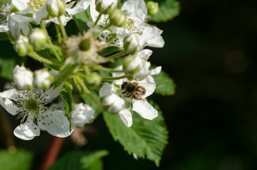 white blackberries florets fly small bees