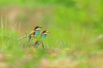 Nature backgrounds - photo of two colorful bee eaters