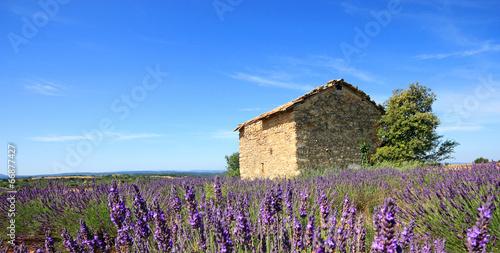 France - Valensole - Lavandes