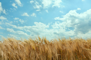 Golden wheat field on a background of blue sky