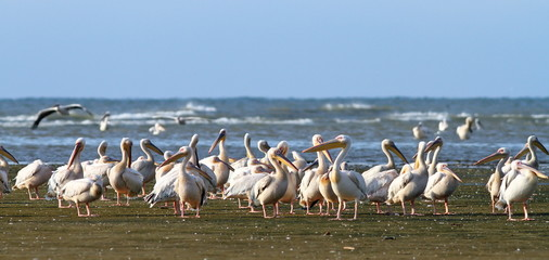 great pelican colony at Meleaua