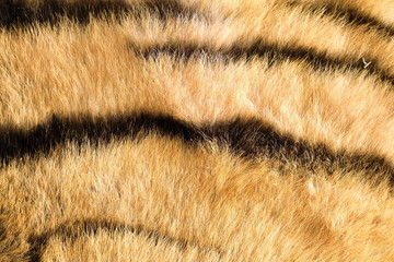 tiger pelt close up