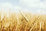 Fototapety Golden Wheat Farm