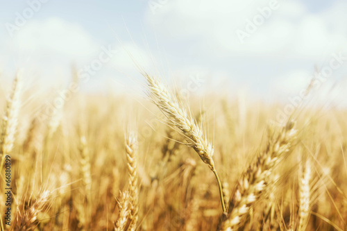 Golden Wheat Farm - 66880899