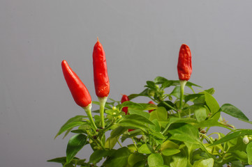 Red hot chili peppers on the plant isolated