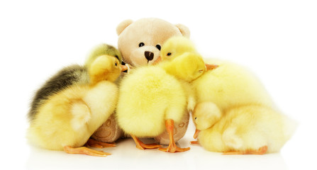 pretty little ducklings with teddy bear isolated on the white ba
