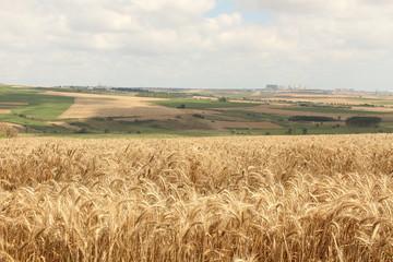 buğday_2