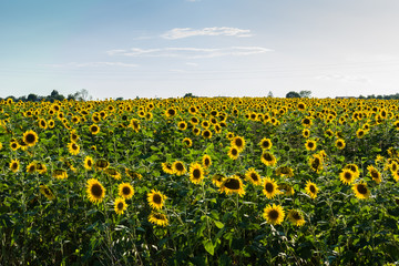 Sunflowers landscape