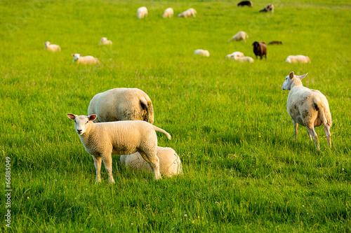 Keuken foto achterwand Schapen Sheeps