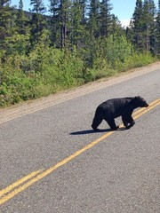 Bear Crossing the Street