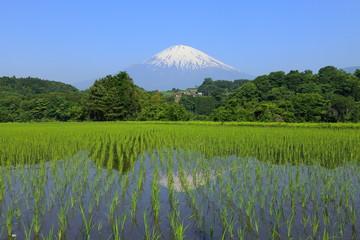 逆さ富士と稲田