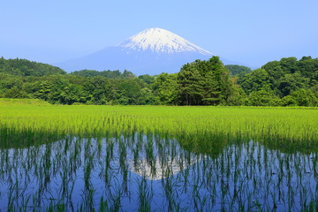 富士と新緑の田んぼ