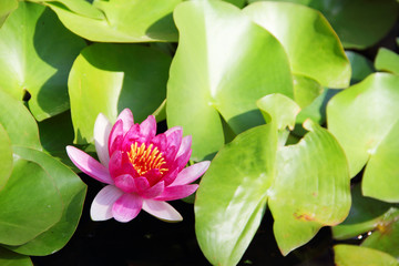 Pink Lotus in water