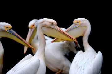 Portrait of a European white pelican